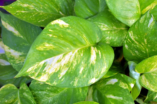 pothos - indoor plants